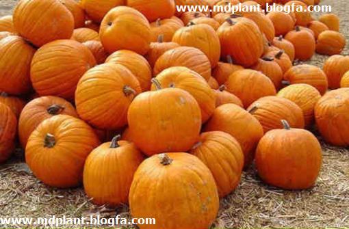گیاه دارویی کدو تخمه کاغذی Cucurbita pepo