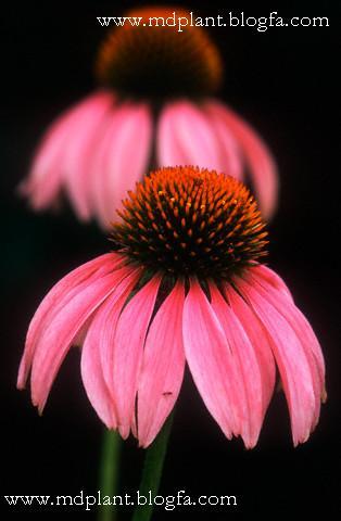گیاه دارویی سرخارگل Echinacea purpurea