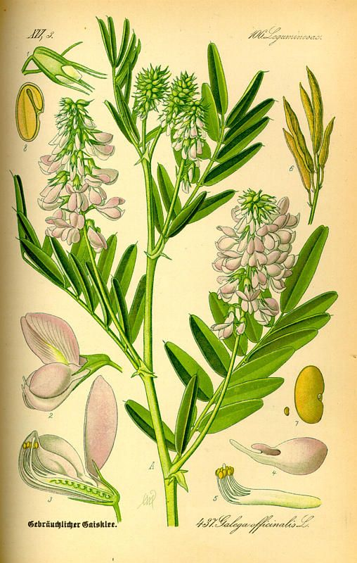 گیاه دارویی گالگا Galega officinalis
