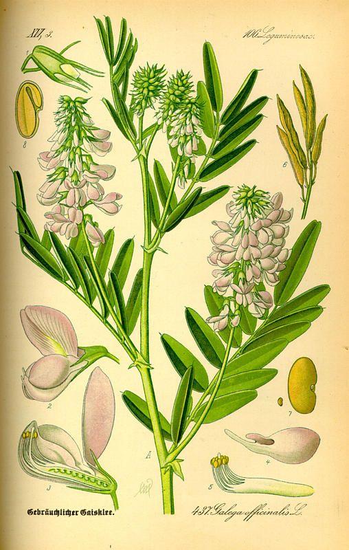 گیاه دارویی گالگا Galega officinalis