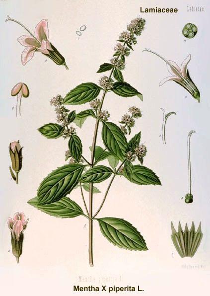 گیاه دارویی نعناع فلفلی Mentha piperita