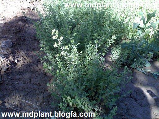 مرزنجوش کشت شده در استان یزد Origanum vulgare ssp. viride