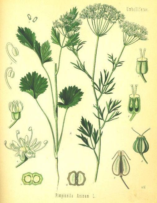 گیاه دارویی آنیسون Pimpinella anisum