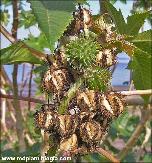 کرچک Ricinus communis