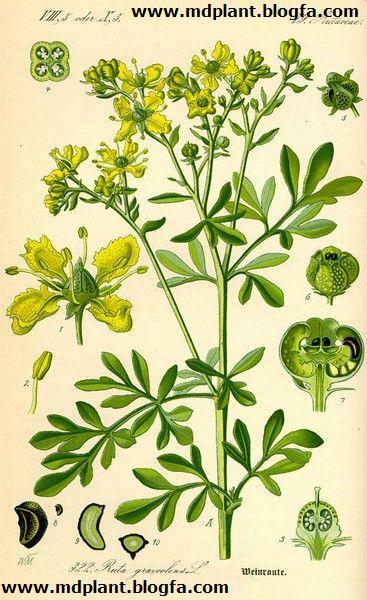 گیاه دارویی سداب Ruta graveolens