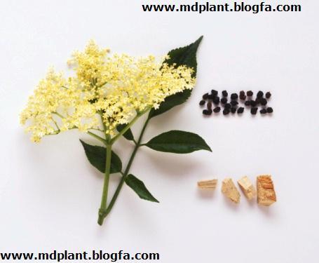گیاه دارویی آقطی Sambucus spp